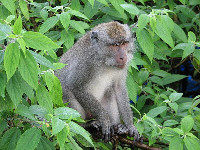 Zarazili koronawirusem 18 makaków. Sprawdzali skuteczność szczepionki